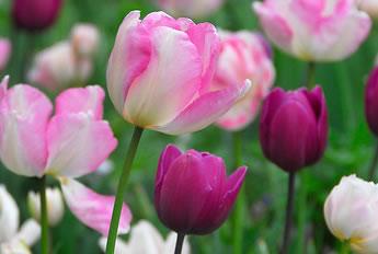 bloembollen_planten_vrolijk_roze