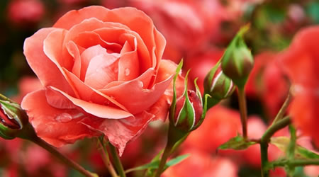 tuinplant_vd_maand_mei_rozen3