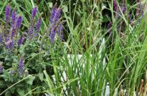 Tuinplant van de Maand mei: Salie