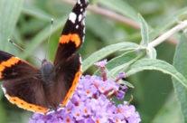 Tuinplant van de maand augustus: Vlinderstruik