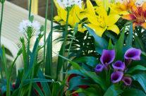 Tuinplant van de Maand juli: Zomerbollen-op-pot