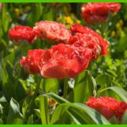 Dubbele tulpen dragen titel Bloembol van het jaar